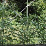 2020年6月26日 家庭菜園