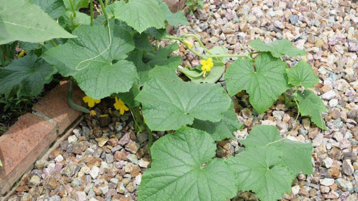 庭の家庭菜園で自然農法にチャレンジ 7月