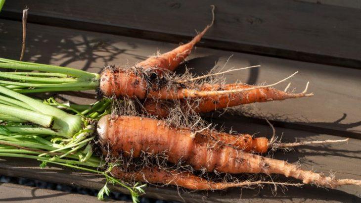 庭の家庭菜園で自然農法にチャレンジ ニンジンを収穫してポタージュに
