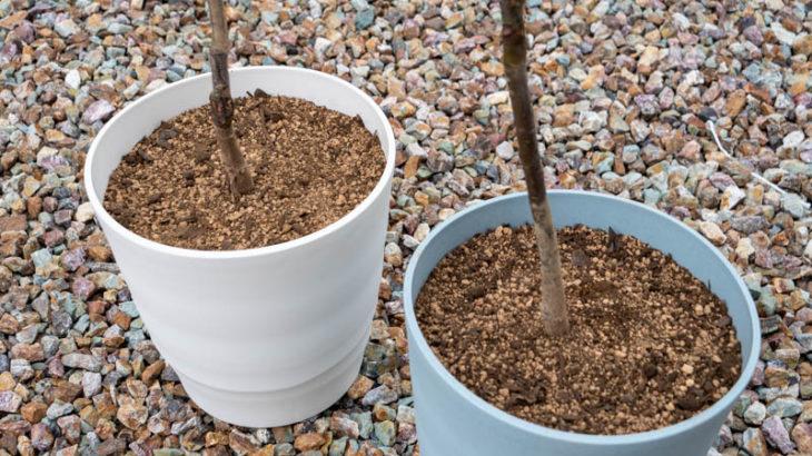 庭に栗の木を鉢植えで植えてみた